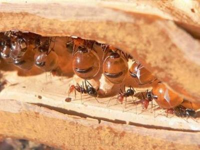 honey-pot-ant-3.jpg